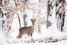 European Roe Deer (Capreolus Capreolus). It Is Known As The Western Roe Deer, Chevreuil, Or Simply Roe Deer Or Roe, Is A Species Of Deer. The Male Of The Species Is Sometimes Referred To As A Roebuck.