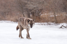 A Wolf Walking Across The Ice ...