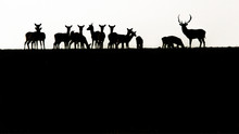 Fallow Deer, Dama Dama, Buck With Antlers And Its Herd In Silhouette On A Romanian Field