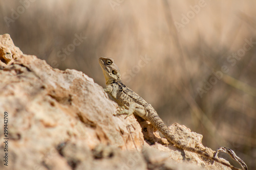 Stellagama is a monotypic genus of agamid lizard, containing the single species Stellagama stellio, also known as the starred agama or the roughtail rock agama Wallpaper Mural