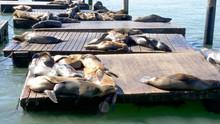 California Sea Lion Sunbathing At Pier 39 In San Francisco