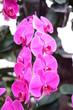 canvas print picture - Purple orchid