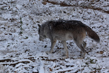 Not All Grey Wolfs Are White, ...