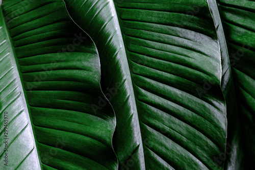 Garden Poster Oceania tropical leaf, large foliage, abstract green texture, nature background