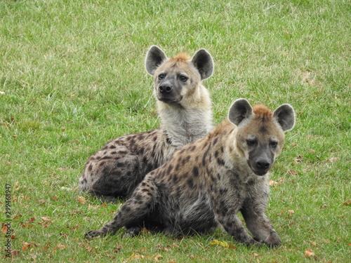 Deurstickers Hyena Double Hyena