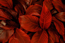 Leaves Of Spathiphyllum Cannifolium, Abstract Colorful Texture, Nature Background, Tropical Leaf