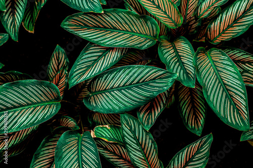 Papier Peint - Calathaea picturata, abstract green leaf texture, nature background, tropical leaf