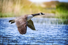 Canada Goose Big Bird In Fligh...