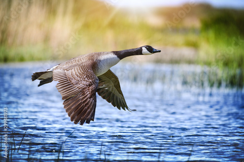 Tablou Canvas Canada goose big bird in flight close beautiful water lake.