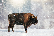 Beautiful Bison In Heavy Snow