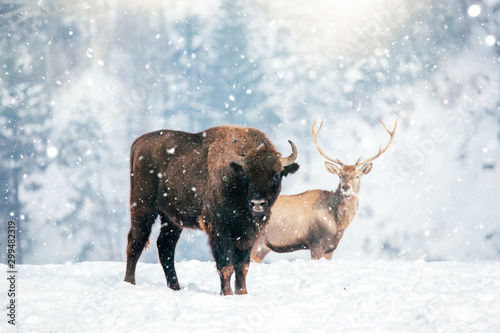 Foto op Canvas Buffel Beautiful Bison in heavy snow