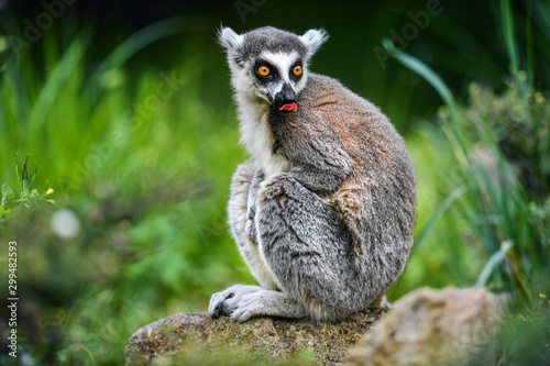 Lemur the beautiful monkey animal of Madagascar detail. Canvas Print