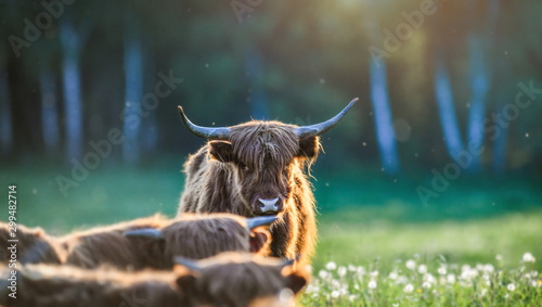 Poster Cow Highland cattle on green meadow or natural habitat. Scottish cow.