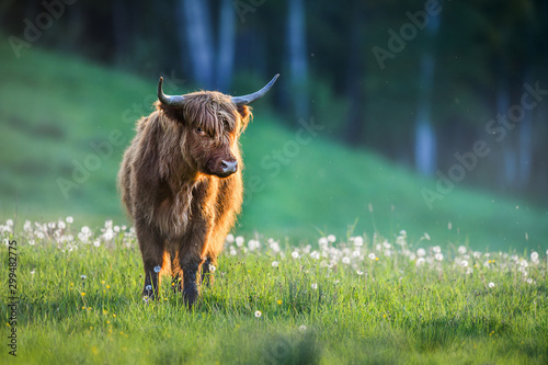 Montage in der Fensternische Pistazie Highland cattle on green meadow or natural habitat. Scottish cow.