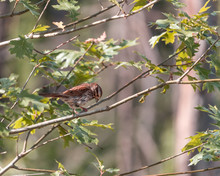 Female House Finch Perches Up ...
