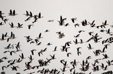 Huge Flocks Of Migratory Geese