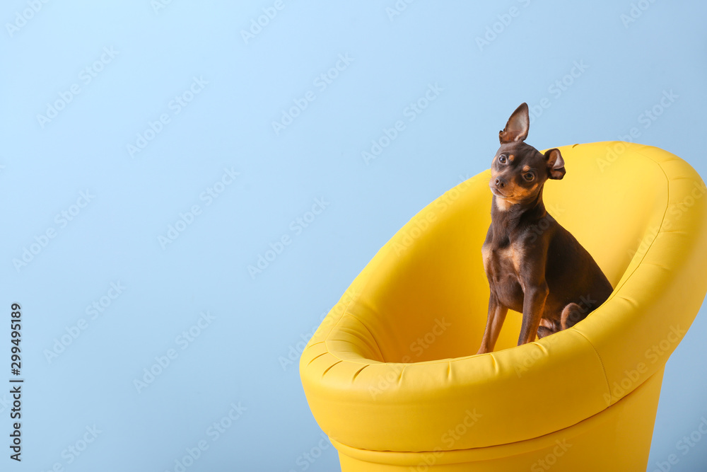 Fototapety, obrazy: Cute toy terrier dog in armchair on color background