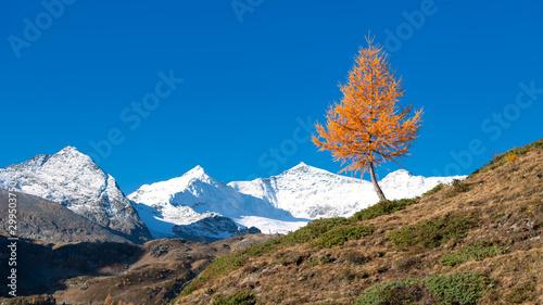 Cuadros en Lienzo A colorful larch plant of autumn the mountain nala