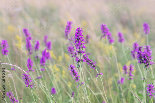 Betony flowers  (Stachys officinalis or  Betonica officinalis), is commonly known as common hedgenettle, betony, purple betony, wood betony, bishopwort Canvas Print