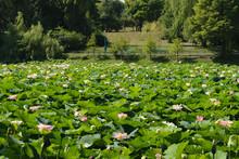 Lacul Tei Park In Bucharest. L...