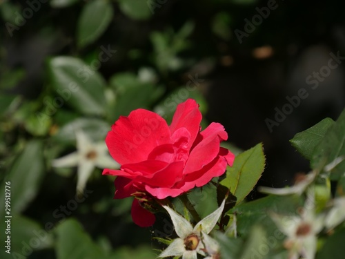 Side view of a small red rose in a garden, soft blurry background