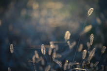 Delicate Plants Spikelets In Cobwebs In The Sunlight. Artistic Photo Of Plants Sparkling In The Sun In A Meadow.