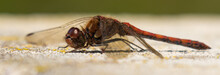 Portrait Of A Red Dragonfly Se...