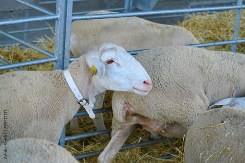 Poster de jardin Vache Tête de mouton dans un enclos.