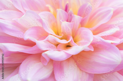 Autocollant pour porte Dahlia Close up.Pink Dahlia Flower for texture background.