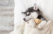 Sleeping Siberian Husky Puppy ...