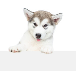 Alaskan malamute puppy looks over empty white banner. isolated on white background