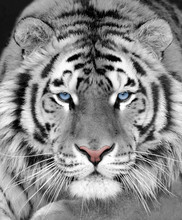 The Face Of A White Beautiful Tiger Close-up