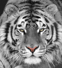 The Head Of A White Beautiful Tiger