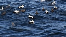 Common Eiders Surfacing From T...