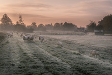Herd Of Sheep In A Meadow On A Frosty Autumn Morning At Dawn