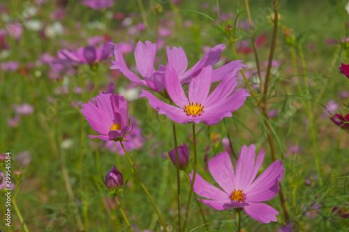 Fototapety, obrazy: Cosmos flowers