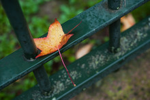 Closeup Of Autumnal Maple Leaf...