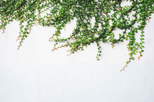 The Surface Of Green Leaves On A White Plaster Wall Decoration Wall With Grunge Surface Texture For Design With Text Or Image Space.