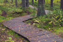 Wet Hiking Wooden Platform Z-walkway In The Forest After Rain