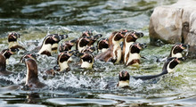 A Raft Of Humboldt Penguins, S...