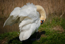 Majestic Adult Swan Seen Preening Herself By The Edge Of An Inland Waterway In Late Spring. Located In A Famous Wildlife Reserve, She Is One Of A Number Of Breeding Birds.