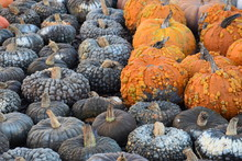 Pile Of Warty Pumpkins