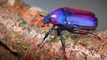 Flower Chafers Or Flower Scarabs (Cetoniinae) In Terrarium