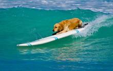 Dog Is Surfing