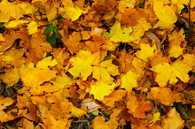 Fallen Leaves Of Trees On The Ground In Late Autumn.