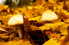 Two White Mushrooms In Yellow ...
