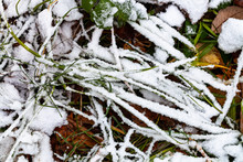 The First Snow Covers Green Gr...