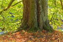Old Chestnut Tree In Autumn
