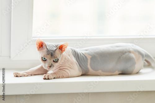 La pose en embrasure Chat Sphynx cat laying on window