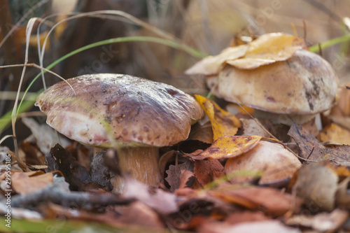Foto auf Leinwand London Mushroom in forest